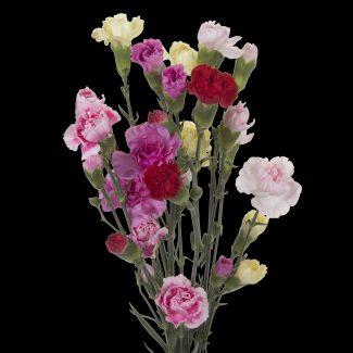 Carnation Mini Assorted Fancy