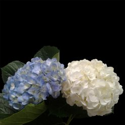 Hydrangea Mix Blue Select- White Select (20 each)