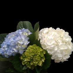 Hydrangea Mix Blue Select -White Select -Mini Green (10 each)