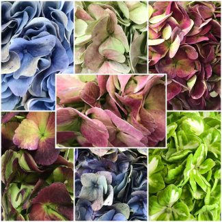 Hydrangea Antique Assorted 3 Jumbo (9.4 inch diameter)