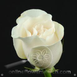 Rose Amelia 50 cm