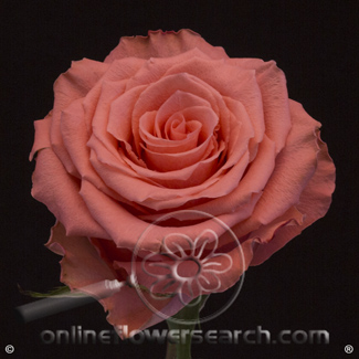 Rose Amsterdam 60 cm