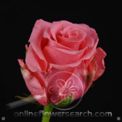 Rose Ballet 60 cm