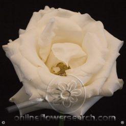 Rose Blizzard 60 cm