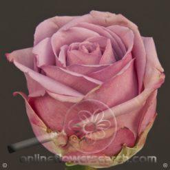 Rose Cool Water 60 cm