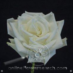 Rose Escimo 50 cm