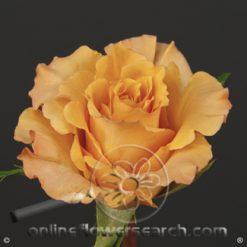 Rose Orange Unique 60 cm