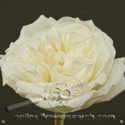 Rose Polo 60 cm