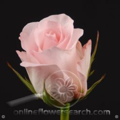 Rose Sweet Akito 60 cm