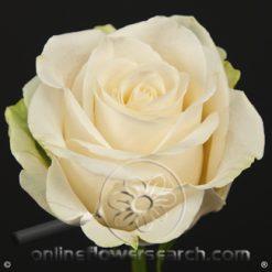 Rose Vendela 70 cm
