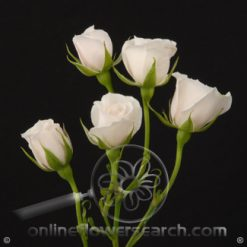 Spray Rose White Majolica 50 cm
