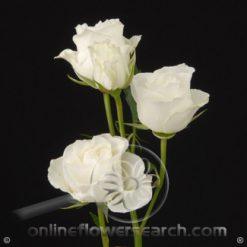 Spray Rose Viviane 50 cm