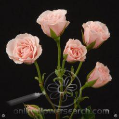 Spray Rose Pink Majolica 50 cm