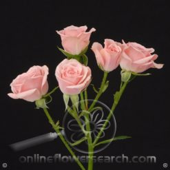 Spray Rose Lydia 40 cm