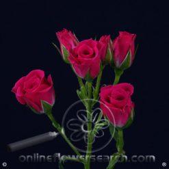 Spray Rose Lovely Lydia 50 cm