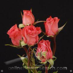 Spray Rose Twinkle Bride 50 cm
