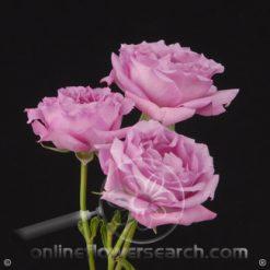 Spray Rose Blue Moon 50 cm