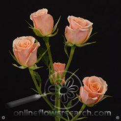 Spray Rose Ilse 50 cm