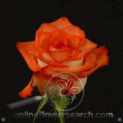 Rose Blush 60 cm