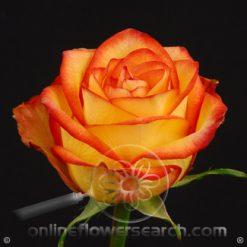 Rose High & Magic 60 cm