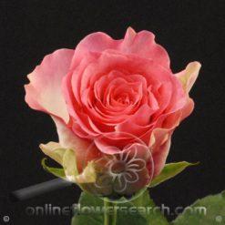 Rose Malibu 60 cm