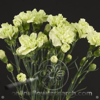 Carnation Mini Green Fancy