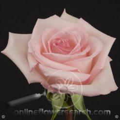 Rose Sophie 60 cm