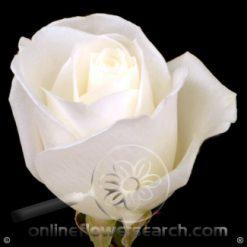 Rose Tibet 60 cm