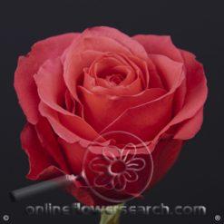 Rose Cherry O! 50 cm