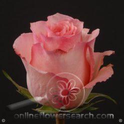 Rose Dekora 60 cm