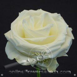 Rose Polar Star 60 cm