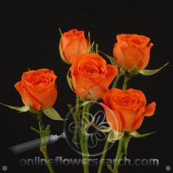 Spray Rose Orange Babe 50 cm
