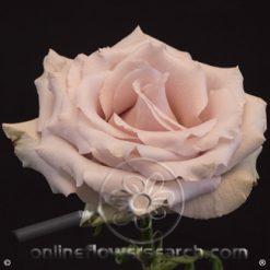Rose Quicksand 60 cm