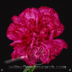 Carnation Purple Select - Monsenor/Golem or similar