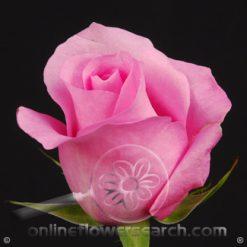 Rose Blushing Akito 60 cm