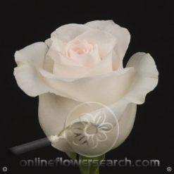 Rose Bridal Akito 60 cm