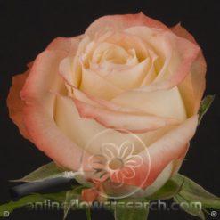 Rose Cabaret 60 cm