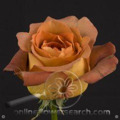 Rose Coffee Break 50 cm