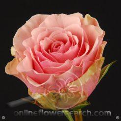 Rose Geraldine 50 cm
