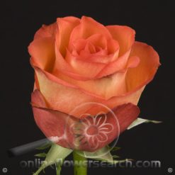 Rose High & Orange 60 cm