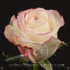 Rose Sweetness 60 cm