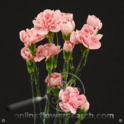 Carnation Mini Light Pink Fancy