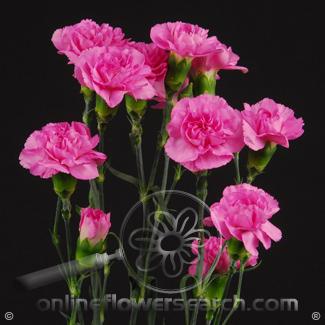 Carnation Mini Hot Pink Fancy