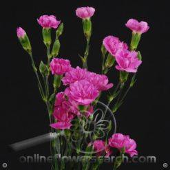 Carnation Mini Lavender Fancy