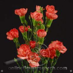 Carnation Mini Orange Fancy