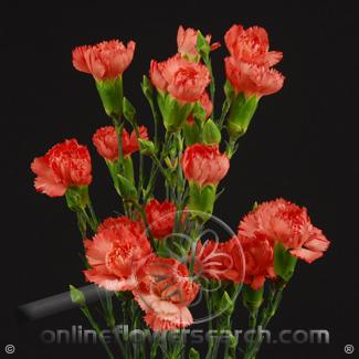 Carnation Mini Orange Fancy