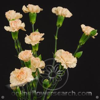 Carnation Mini Peach Fancy