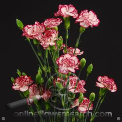 Carnation Mini Peppermint Fancy
