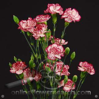 Carnation Mini Peppermint Fancy