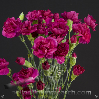 Carnation Mini Purple Fancy